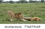 Two Male Lions  Brothers   One...