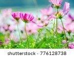 cosmos pink flowers  blooming... | Shutterstock . vector #776128738