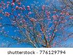 cherry  blossom  pink flower... | Shutterstock . vector #776129794
