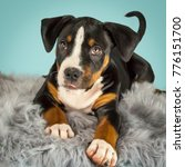 Stock photo puppy lying on rug blue background in studio victoria australia october 776151700