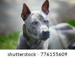 thai ridgeback dog outdoors | Shutterstock . vector #776155609
