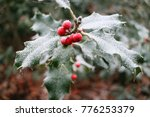 Frosty Holly With Green Leaves...