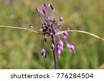Small photo of Allium carinatum flowers