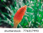 orange red and yellow flower... | Shutterstock . vector #776317993