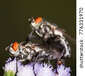 Small photo of scary Blow fly,flies engraft be fertile on flower
