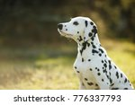 Stock photo cute puppy dalmatian for a walk in the park portrait 776337793