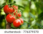 Beautiful red ripe heirloom tomatoes grown in a greenhouse. Gardening tomato photograph with copy space. Shallow depth of field