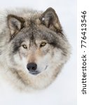 timber wolf or grey wolf  canis ... | Shutterstock . vector #776413546