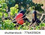 male magnificent frigatebirds ... | Shutterstock . vector #776435824