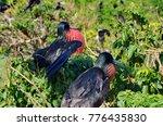 male magnificent frigatebirds ... | Shutterstock . vector #776435830