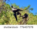 female magnificent frigatebird  ... | Shutterstock . vector #776437378
