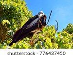 female magnificent frigatebird  ... | Shutterstock . vector #776437450