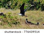 magnificent frigatebird ... | Shutterstock . vector #776439514