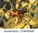 Small photo of strawberry spider, Araneus alsine