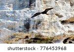 magnificent frigatebirds in... | Shutterstock . vector #776453968