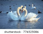 The mute swan  cygnus olor ....