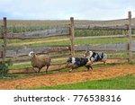 border collie with australian... | Shutterstock . vector #776538316