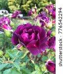 Stock photo purple rose in garden 776542294
