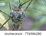 Rufous Hummingbird Nest With...