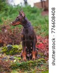 serious brown female doberman... | Shutterstock . vector #776608408
