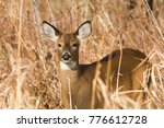 Small photo of whitetail deer doe