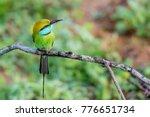 green bee eater or merops... | Shutterstock . vector #776651734