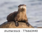 North American River Otter...