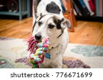 close up of  small dog playing... | Shutterstock . vector #776671699