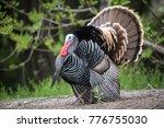 wild male turkey strutting... | Shutterstock . vector #776755030