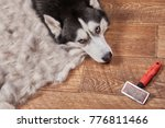 Small photo of Husky dog in moulting and big pile fur with dog comb after grooming. Brush for dog hair. Slicker brush.