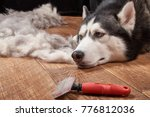 Small photo of Husky dog in moulting and big pile fur with dog comb. Brush for dog hair. Slicker brush.