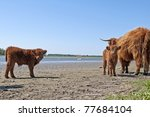 scottish highlander with calf - stock photo