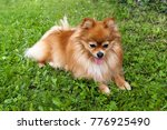 Dog Breed Pomeranian  Spitz...