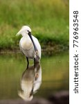 The Eurasian Spoonbill Or...