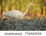 the great egret  ardea alba  ... | Shutterstock . vector #776963554
