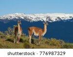 guanaco  lama guanicoe ... | Shutterstock . vector #776987329