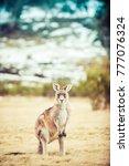wildlife in australia kangaroo  | Shutterstock . vector #777076324