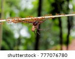 Small photo of Esprit de corps, ants carrying big spider for food.