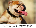 portrait of a bulldog | Shutterstock . vector #777097363