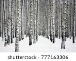 Snowy Trunks Of Birch Trees In...