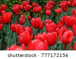 group of red tulips are growing ... | Shutterstock . vector #777172156