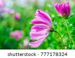 cosmos pink flower blooming in... | Shutterstock . vector #777178324