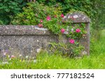 wild roses growing on a vintage ... | Shutterstock . vector #777182524