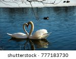 a pair of swans in love... | Shutterstock . vector #777183730