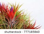 Tillandsia Plant Isolated On...