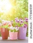 purple  red and lilac pansy...   Shutterstock . vector #777300559
