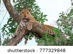 One Eyes Male African Leopard...