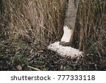 beavers build a dam in the... | Shutterstock . vector #777333118