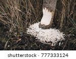 beavers build a dam in the... | Shutterstock . vector #777333124