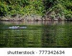 rare shot of river dolphin... | Shutterstock . vector #777342634